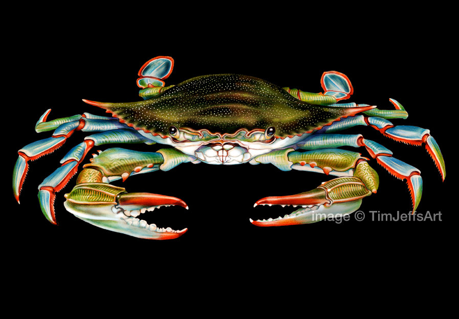 897x623 Blue Crab Colored Pencil Drawing