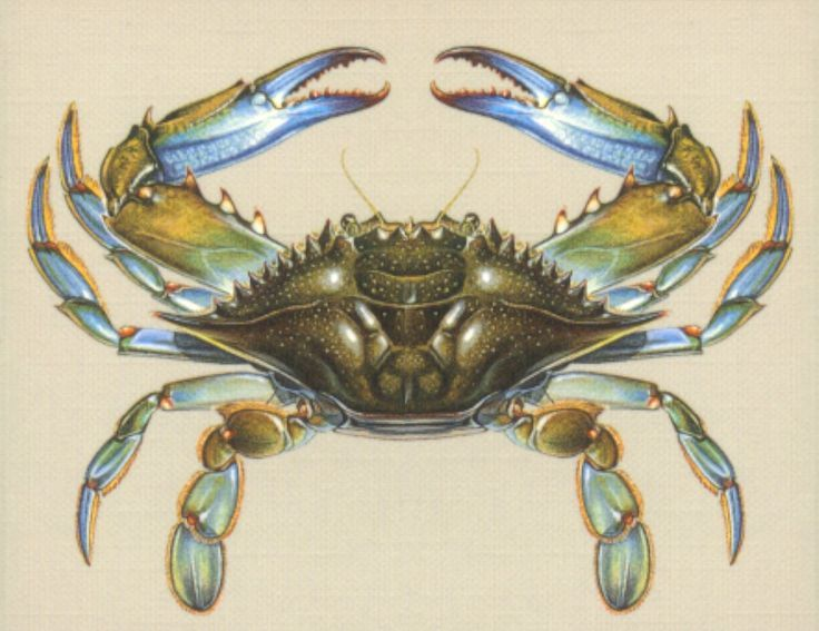 736x567 How To Draw A Blue Crab Step By Step