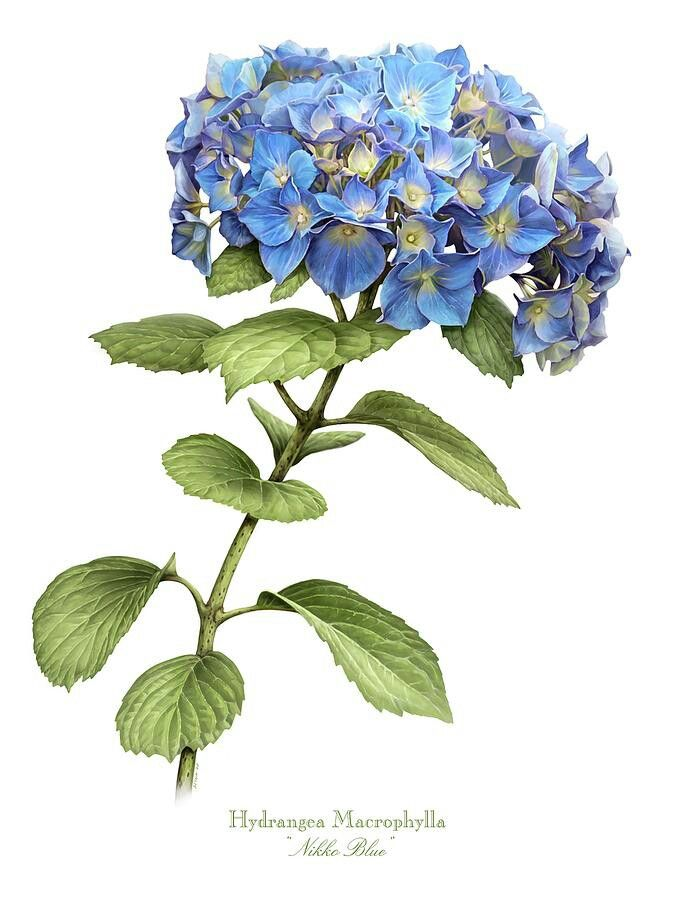 675x900 791 Best Hortensje Images On Hydrangeas, Etchings