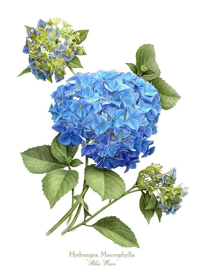 675x900 Hydrangea Blue Wave Canvas Print Canvas Art By Artellus Artworks