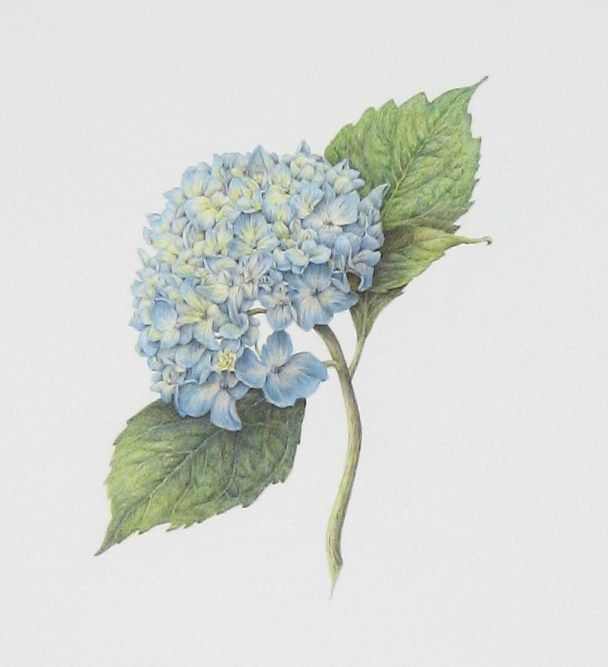 608x667 Botany Hydrangea Sketch