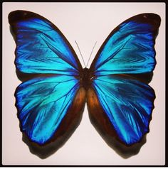 236x238 1) Butterfly Tumblr Drawing Inspiration Blue Morpho