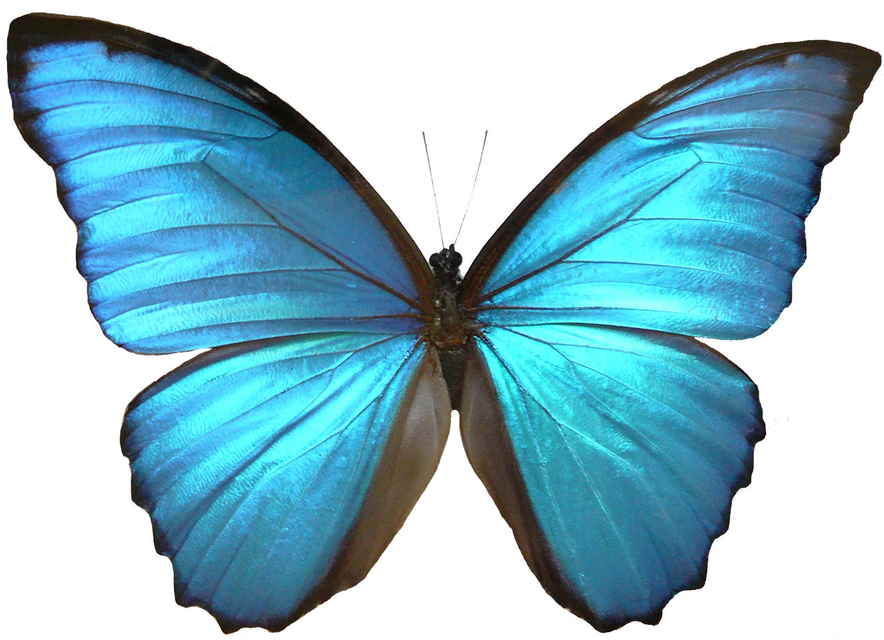 1280x927 Blue Morpho Butterfly Wings By Enchantedgal Stock