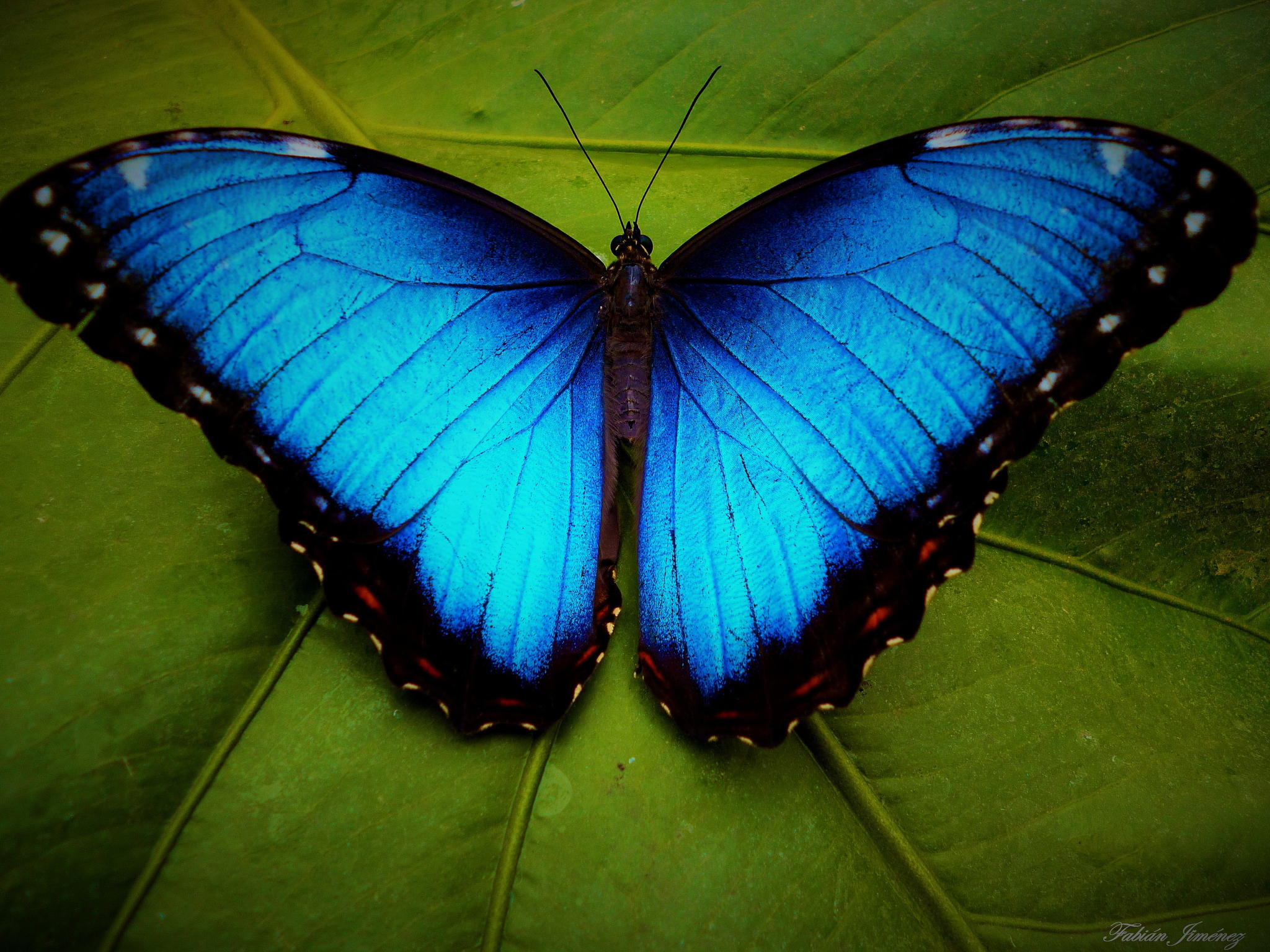 2048x1536 Blue Morpho Butterfly Images