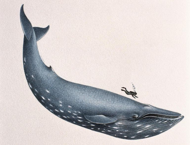 768x584 11 Facts About Blue Whales, The Largest Animals Ever Known To Live