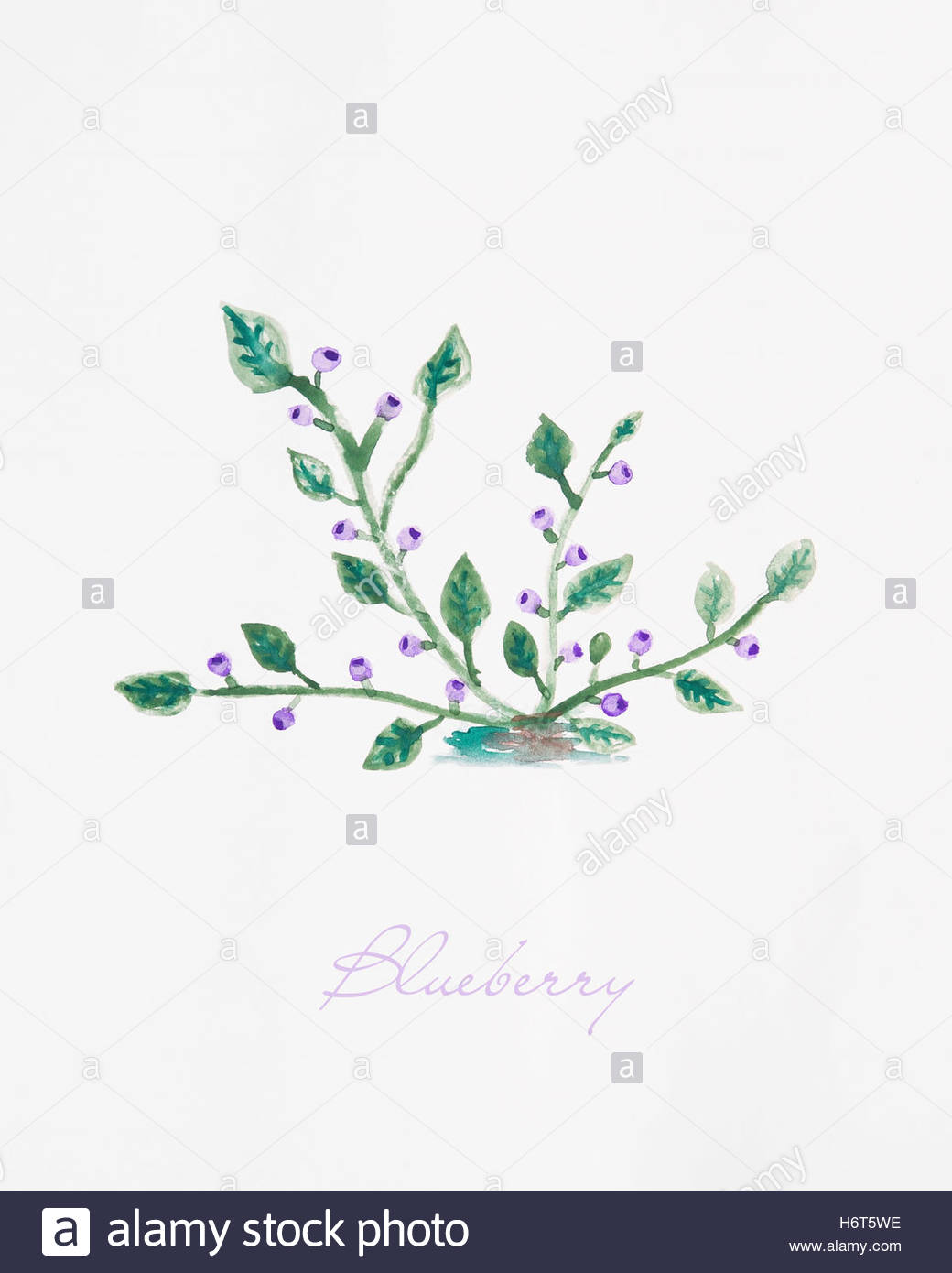 1040x1390 Blueberry Bush With Blueberry Fruits Watercolor Drawing