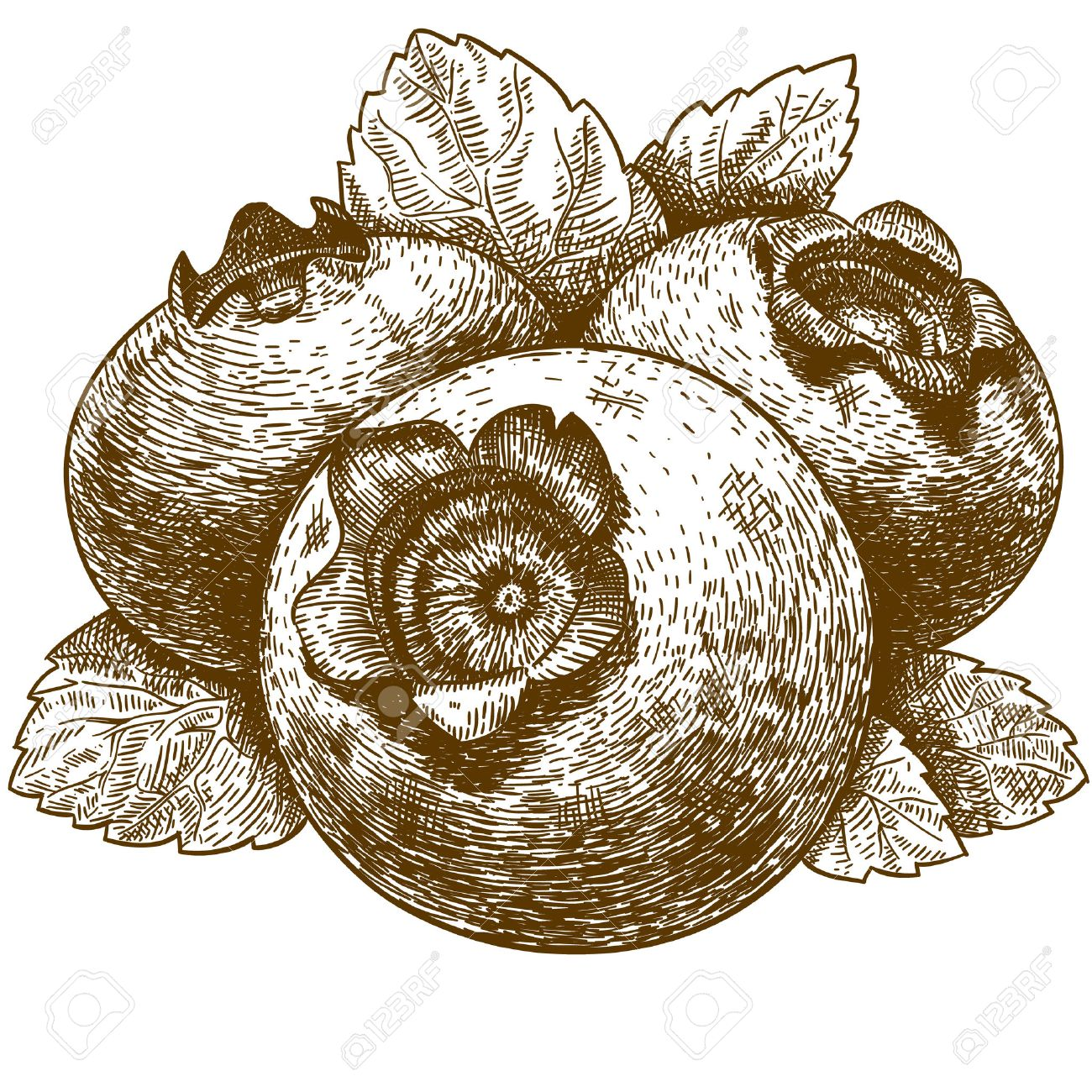 1300x1300 Vector Engraving Drawing Antique Illustration Of Blueberry
