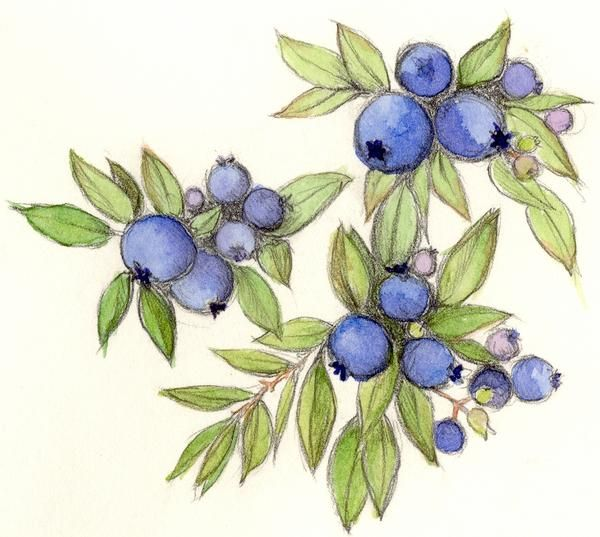600x537 Blueberries Drawing Blueberry, Drawing By Cindy Robbins 2002