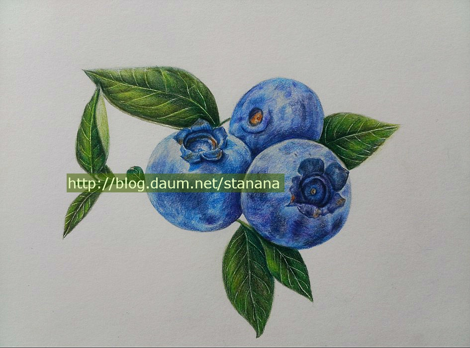 945x700 Blueberry Drawing