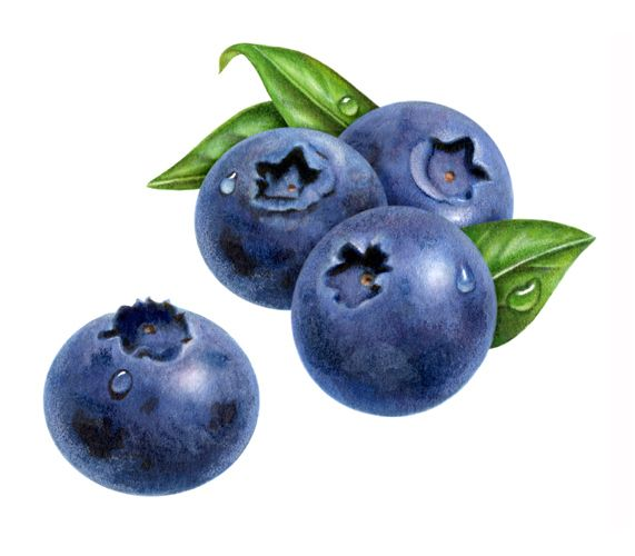 571x500 Watercolor Paintings Of Blueberries This Label Was For Blueberry
