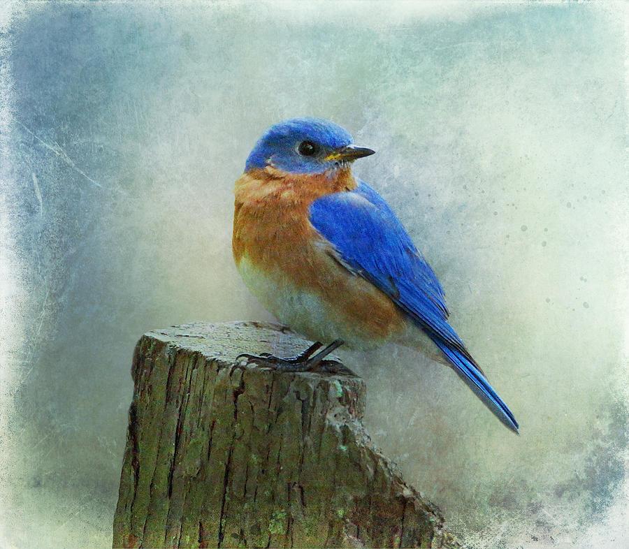 900x786 Eastern Bluebird Drawing Eastern Bluebird Ii Photograph