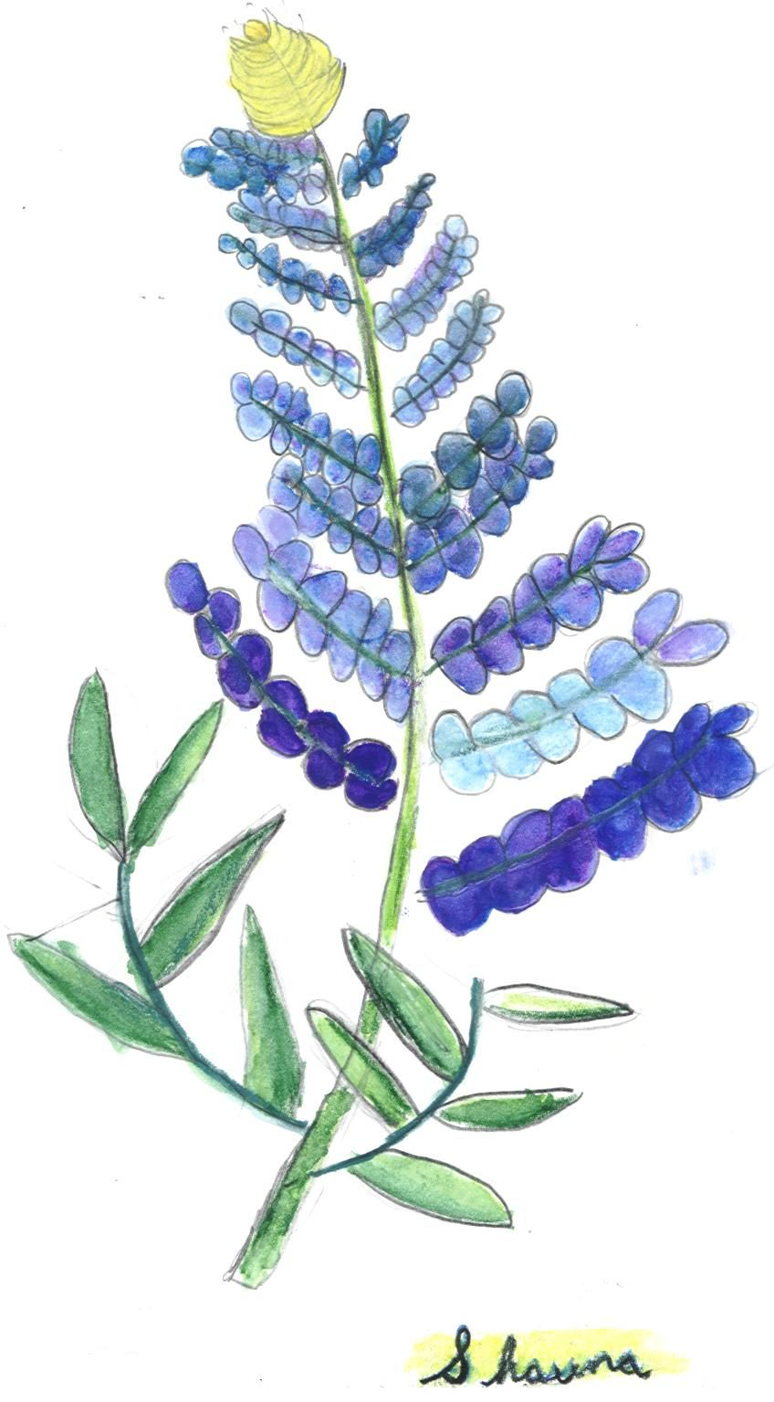 Excepcional Dibujo De Flor De Bluebonnet Para Colorear Fotos - Ideas ...