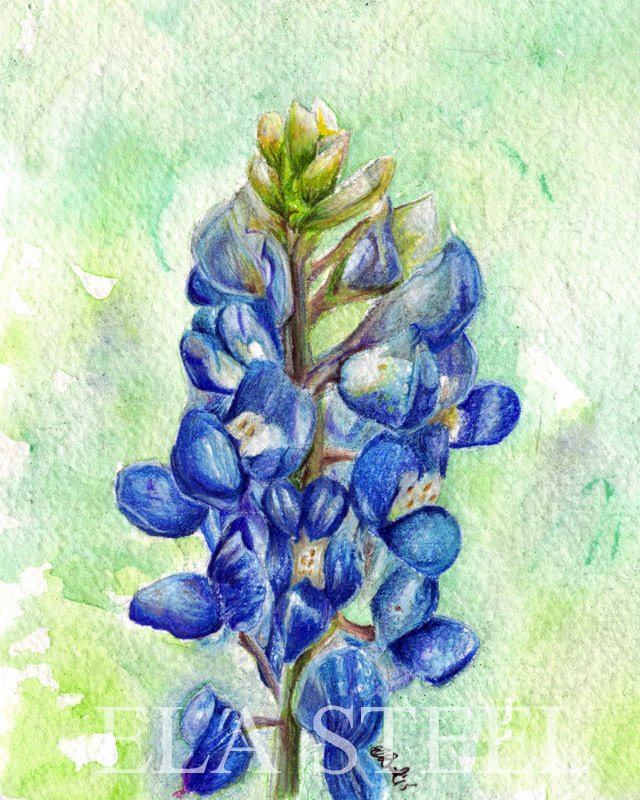 bluebonnet flower drawing at getdrawingscom free for