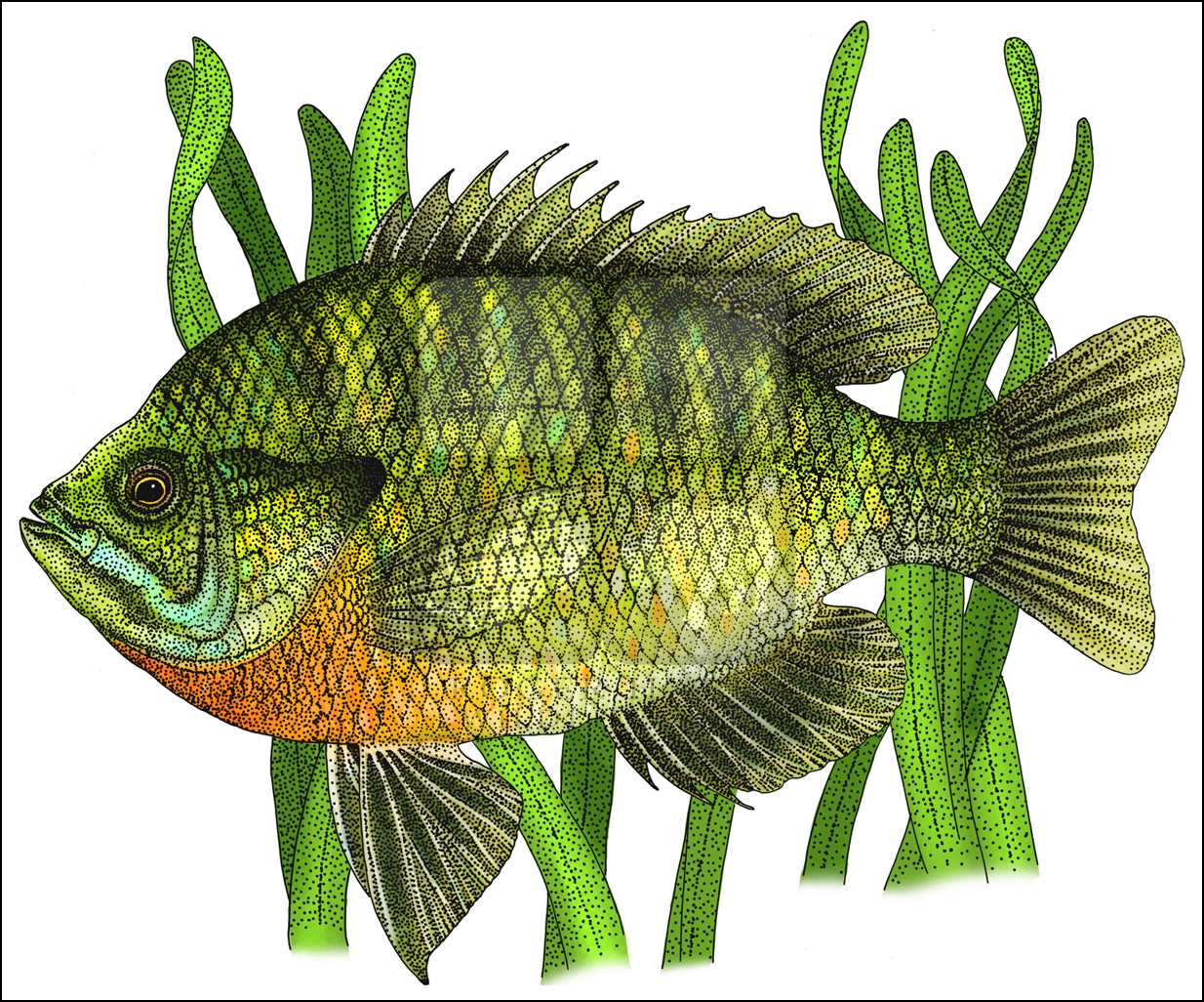 Bluegill Drawing at GetDrawings.com   Free for personal use Bluegill ...