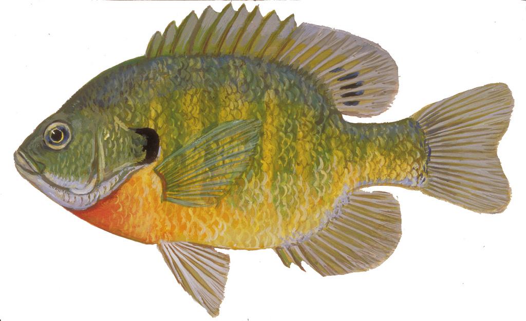 1024x626 Bluegill Drawing Of Bluegill. Fish Illustrations By