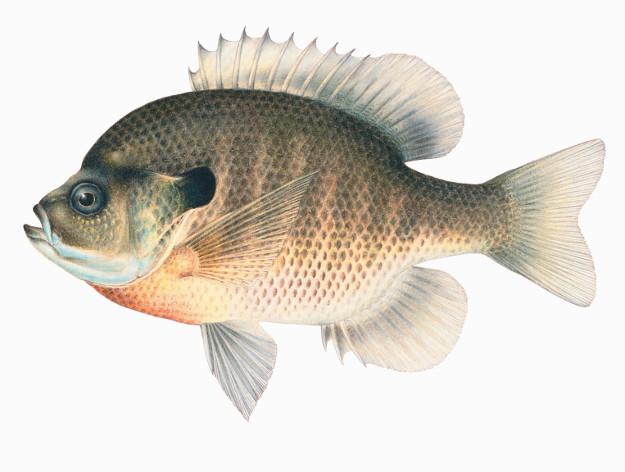 625x472 Living Sanibel Charles Sobczak, Bluegill And Sunfish