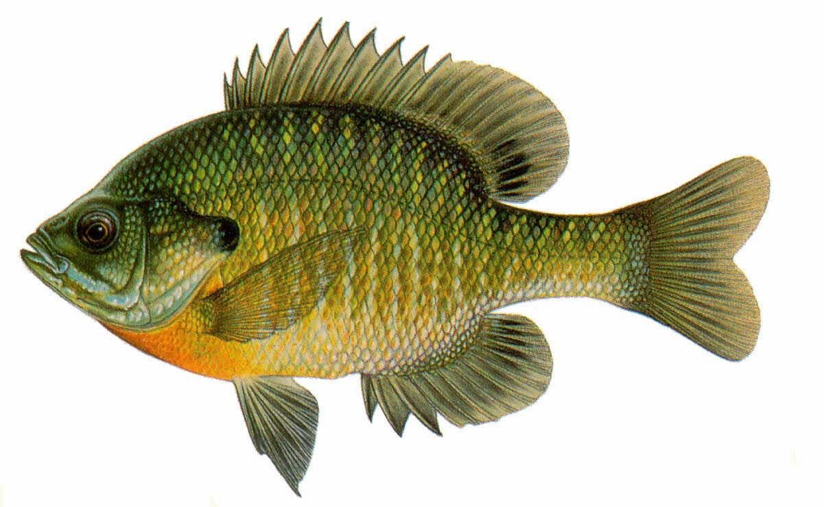 1201x740 Bluegill Drawing Wisconsin Fish (Drawings) Just Because