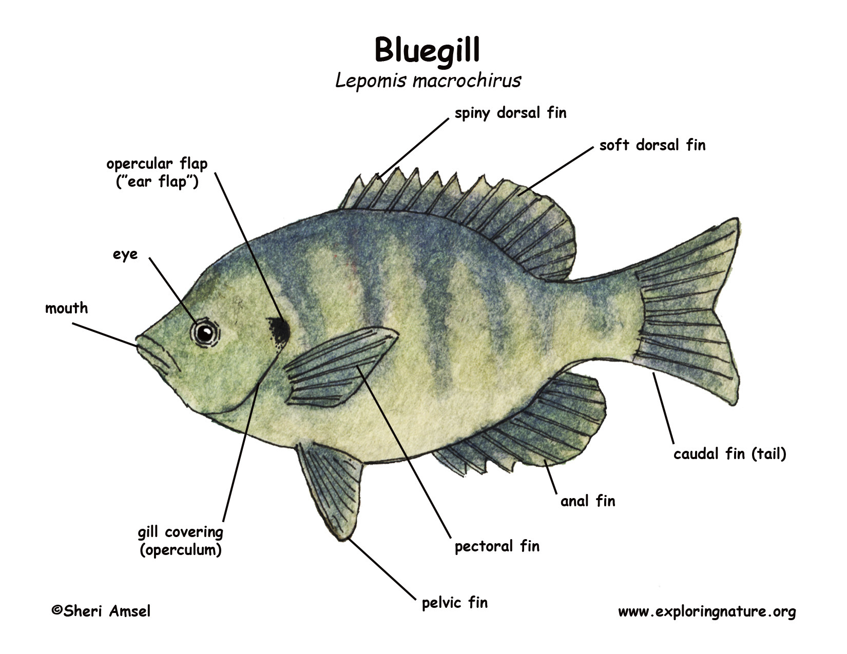 Gills Yellow Perch Diagram Search For Wiring Diagrams
