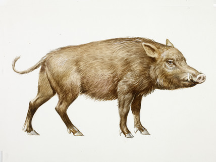 428x321 A Reconstruction Drawing Of A Mesolithic Wild Boar By Derek Lucas