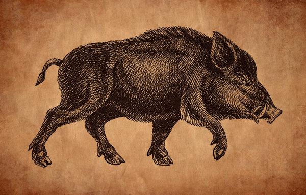 600x384 Boar Drawing By Feoris