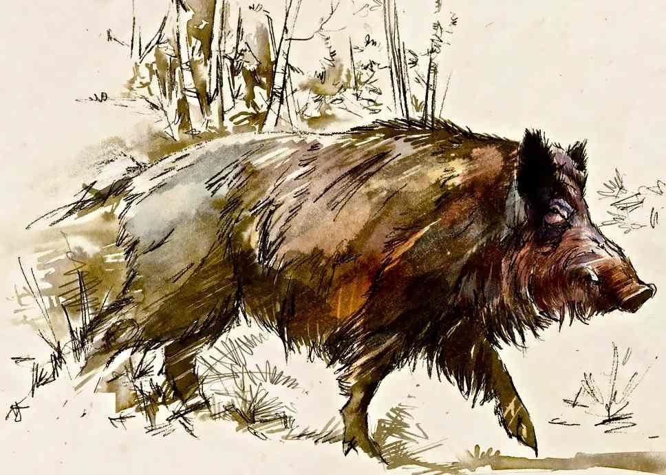 968x690 Pro Wild Boar Drawing Wild Boar Drawing