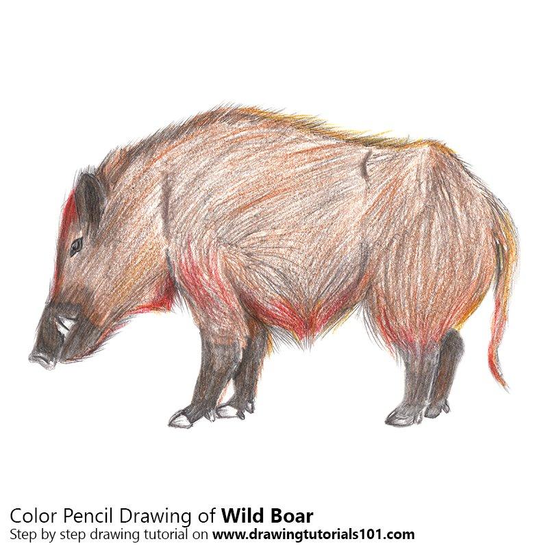 800x800 Wild Boar Colored Pencils