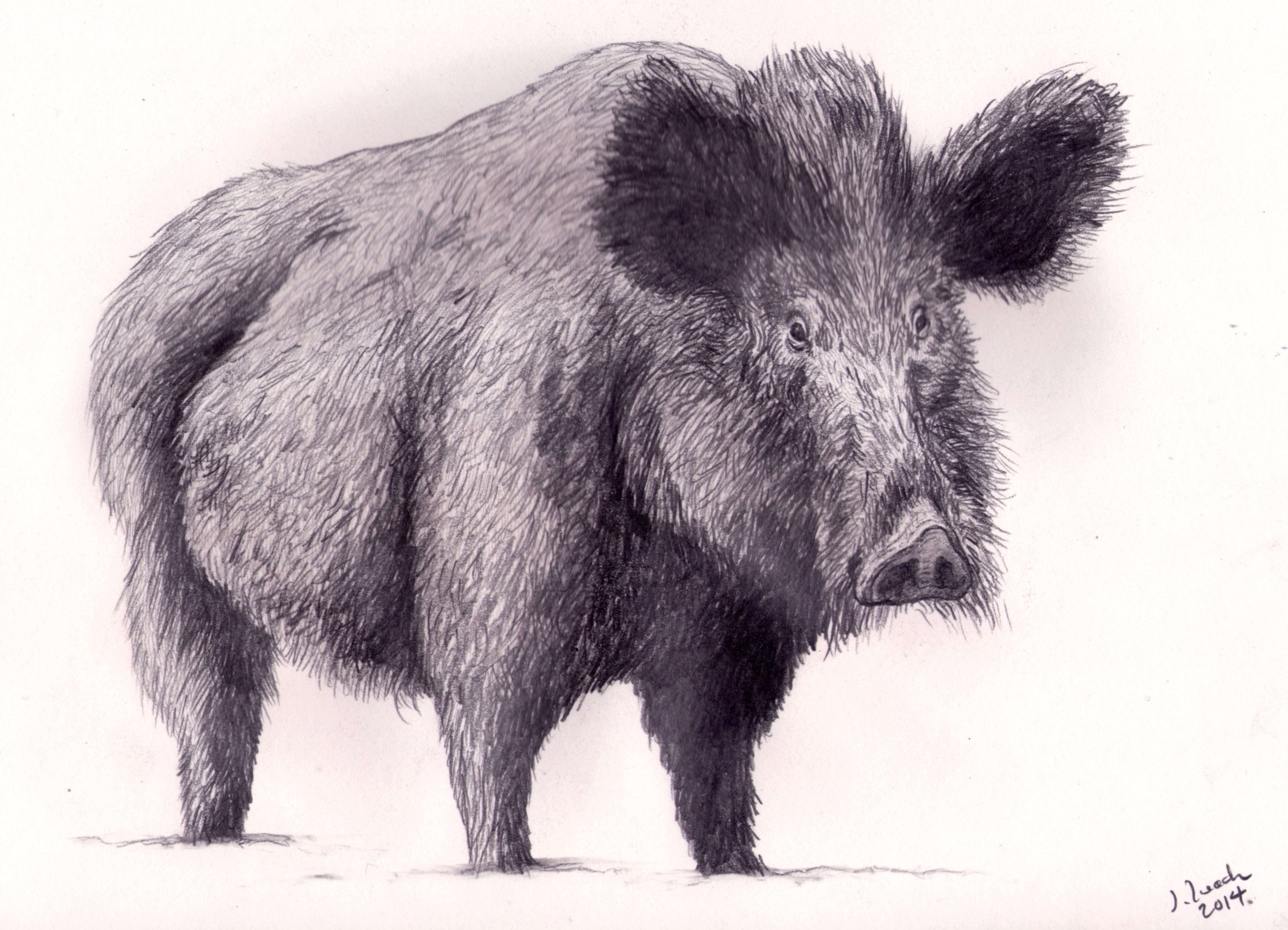 6102x4405 Wild Boar By Jonathan Leach Phosphor Art