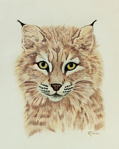 240x300 Bobcats Drawings