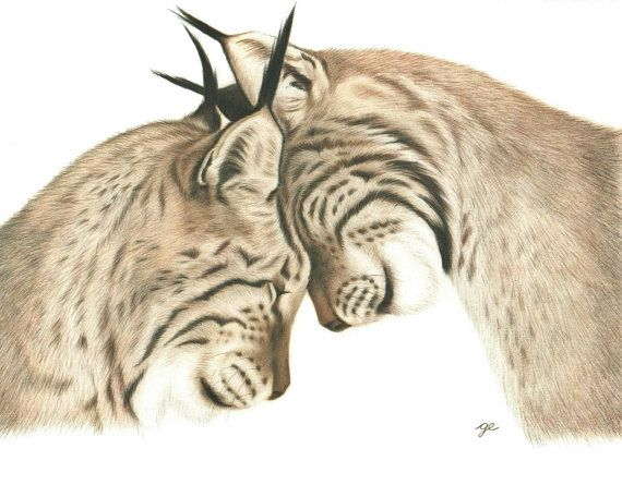 570x456 Original Drawing Of Bobcats In Love Bobcats In Love Drawing