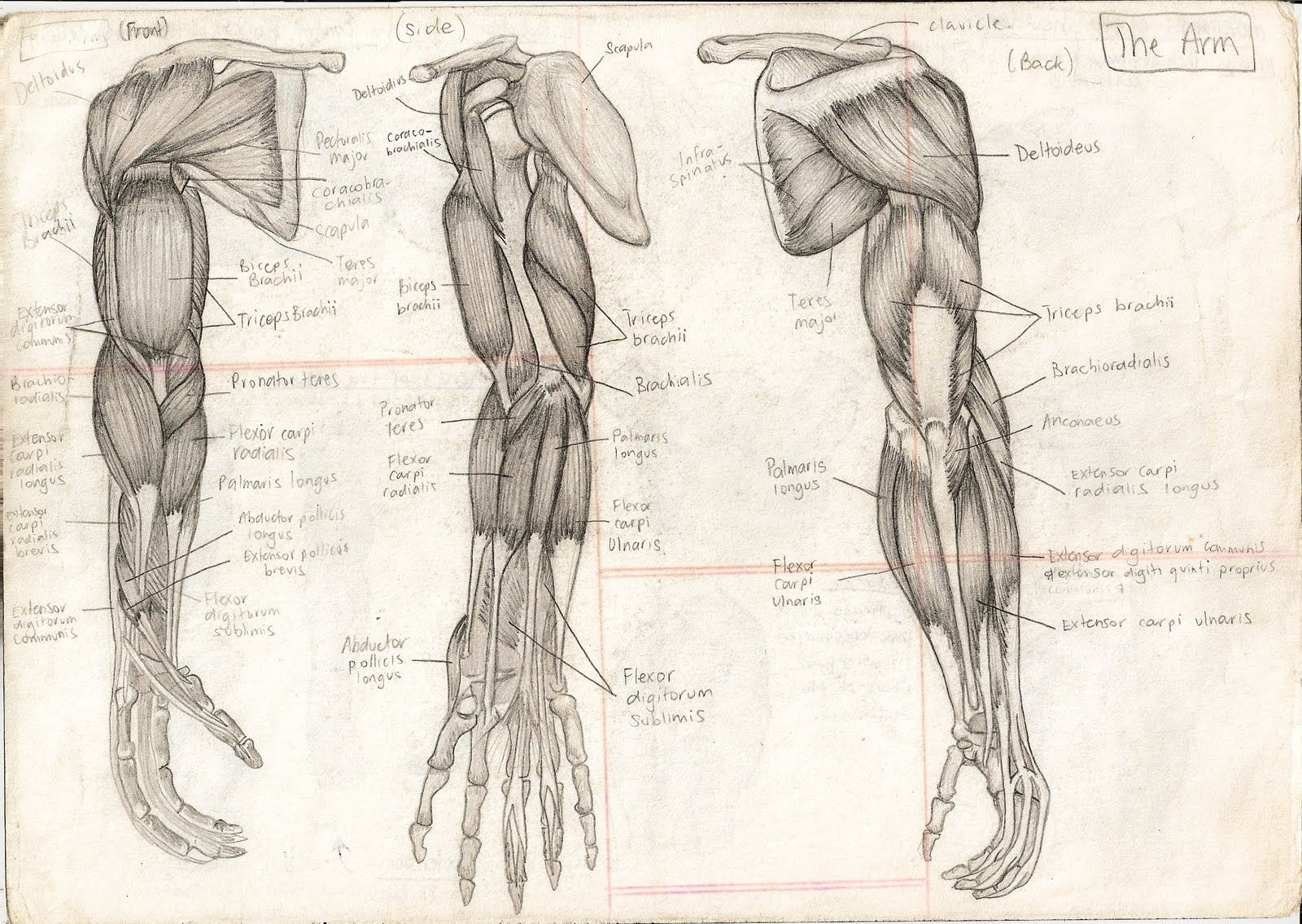 1600x1135 Human Body Muscles Anatomy With The Human Body These Drawings