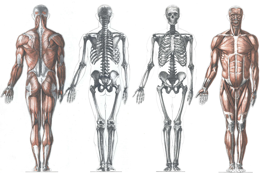862x567 Human Body Anatomy Drawing Human Anatomy Free