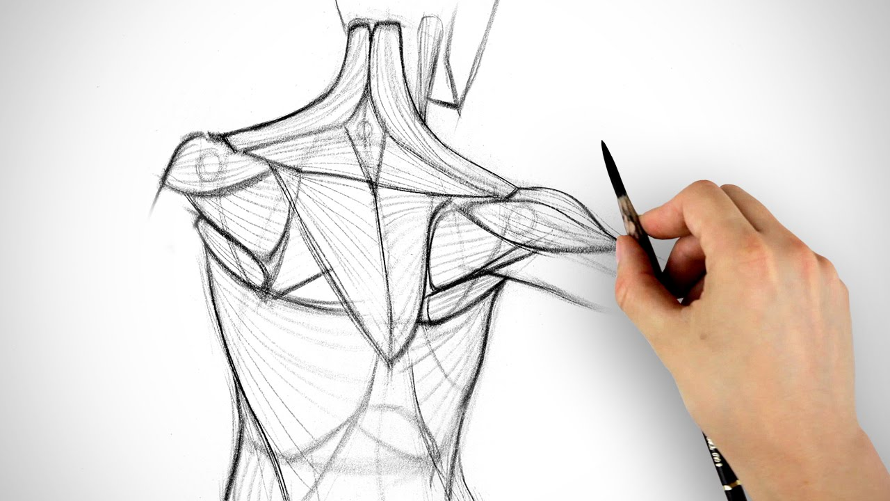 1280x720 How To Draw The Shoulder Bones