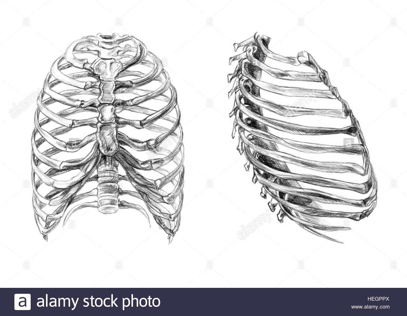 1300x1010 Thorax Bones (2 Angles), Hand Drawn Medical Illustration Drawing