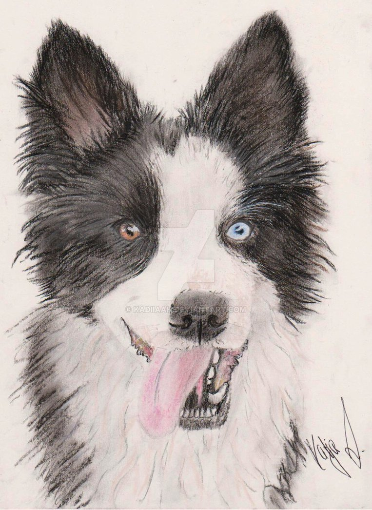 763x1046 Border Collie Drawing In Pastell Dog By Kadiiaah