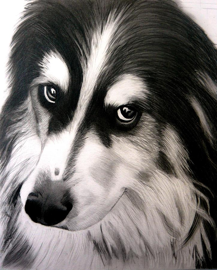 724x900 Border Collie Portrait Drawing By Susan Barwell