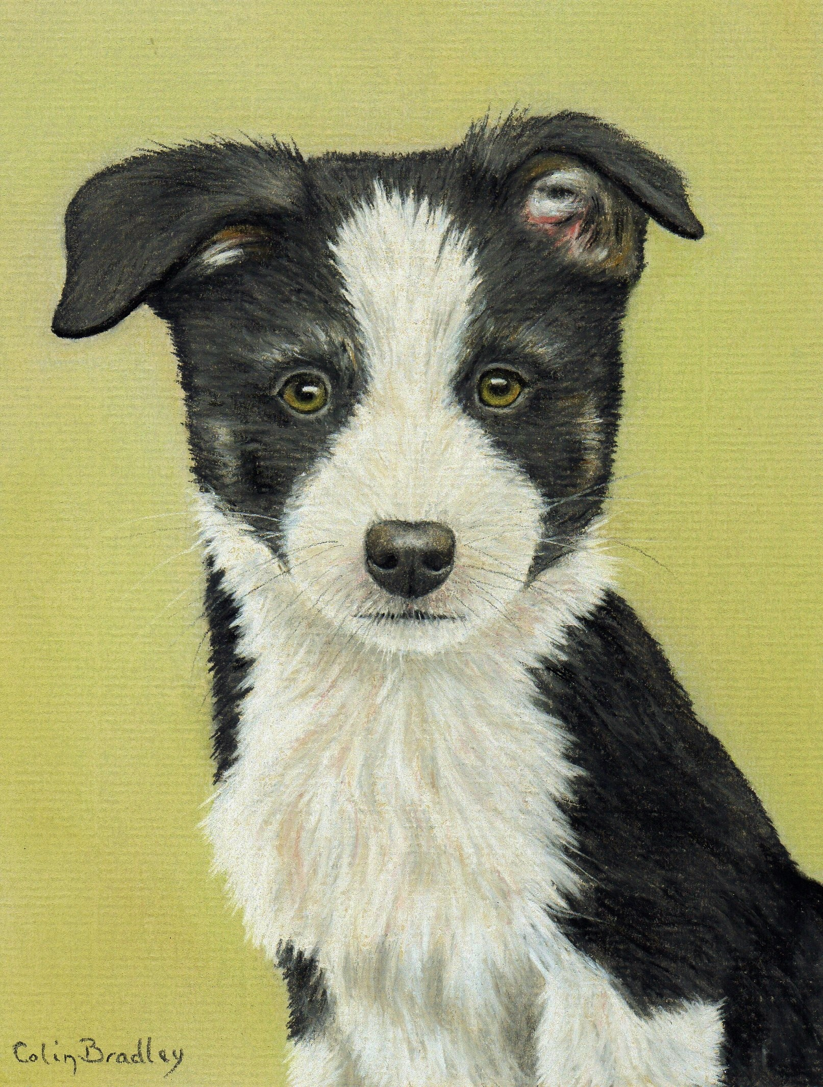 1613x2131 How To Draw A Border Collie Puppy Using Pastel Pencils Colin