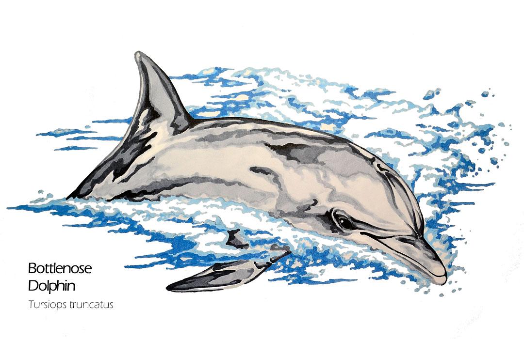 1080x700 Bottlenose Dolphin Animal Drawing Art Mdubillustrations