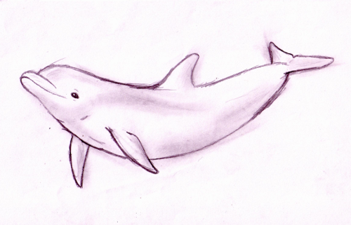 500x321 Dolphin Sketch Sketch Of A Bottlenose Dolphin. It Took Me A Lot