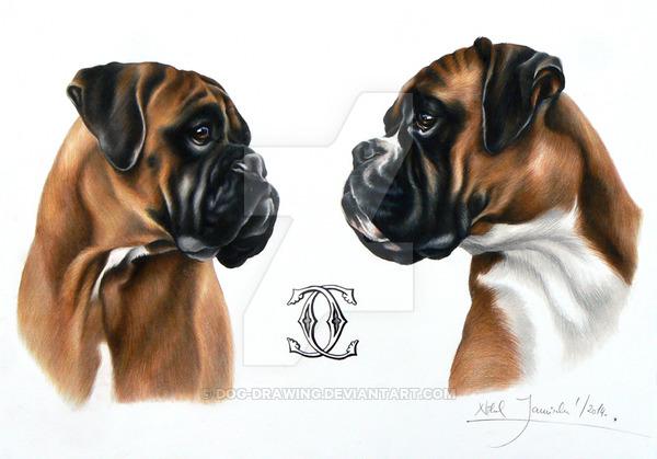 600x419 Boxer