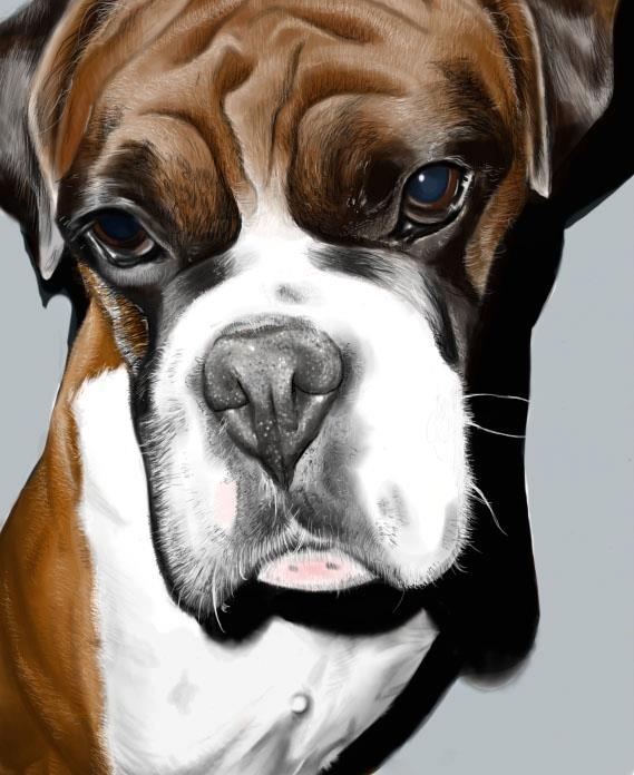 569x696 Boxer Dog Digital Paintingdrawing By Victorialeanned