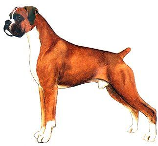 323x300 The Boxer A Drawing By Judy Horton