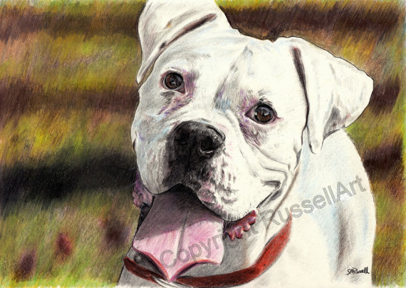 570x404 White Boxer Color Pencil Dog Drawing Large A4 A3 Or A2
