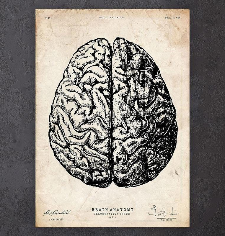 Brain Anatomy Drawing At Getdrawings Free For Personal Use