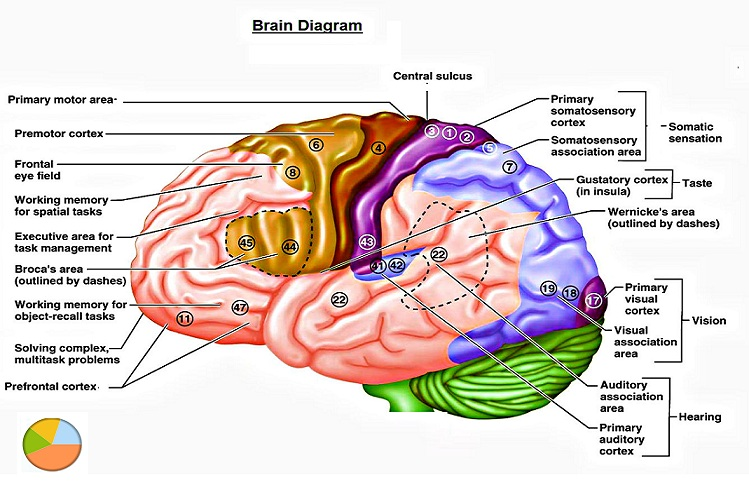 Brain And Its Parts Drawing at GetDrawings.com | Free for personal ...