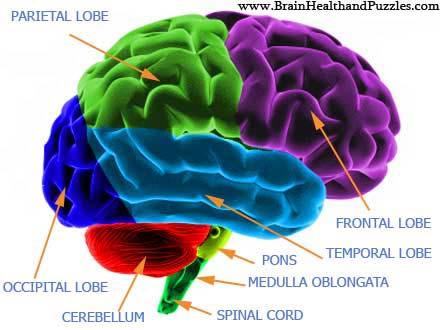 440x330 Diagram Of Brain