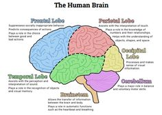 Brain and its parts drawing at getdrawings free for personal 236x167 human brain diagram lobes ccuart Images