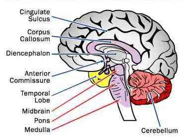 Brain and its parts drawing at getdrawings free for personal 373x276 draw a brain ccuart Images