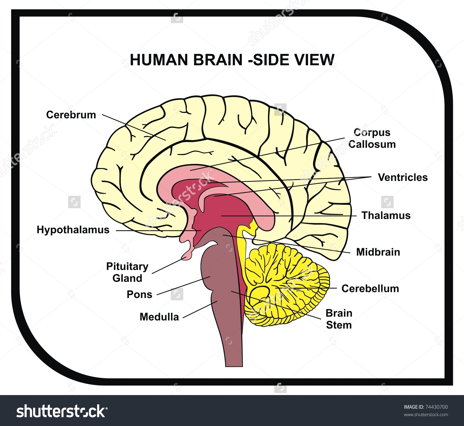 Large Brain Diagram Labeled - Electrical Work Wiring Diagram •