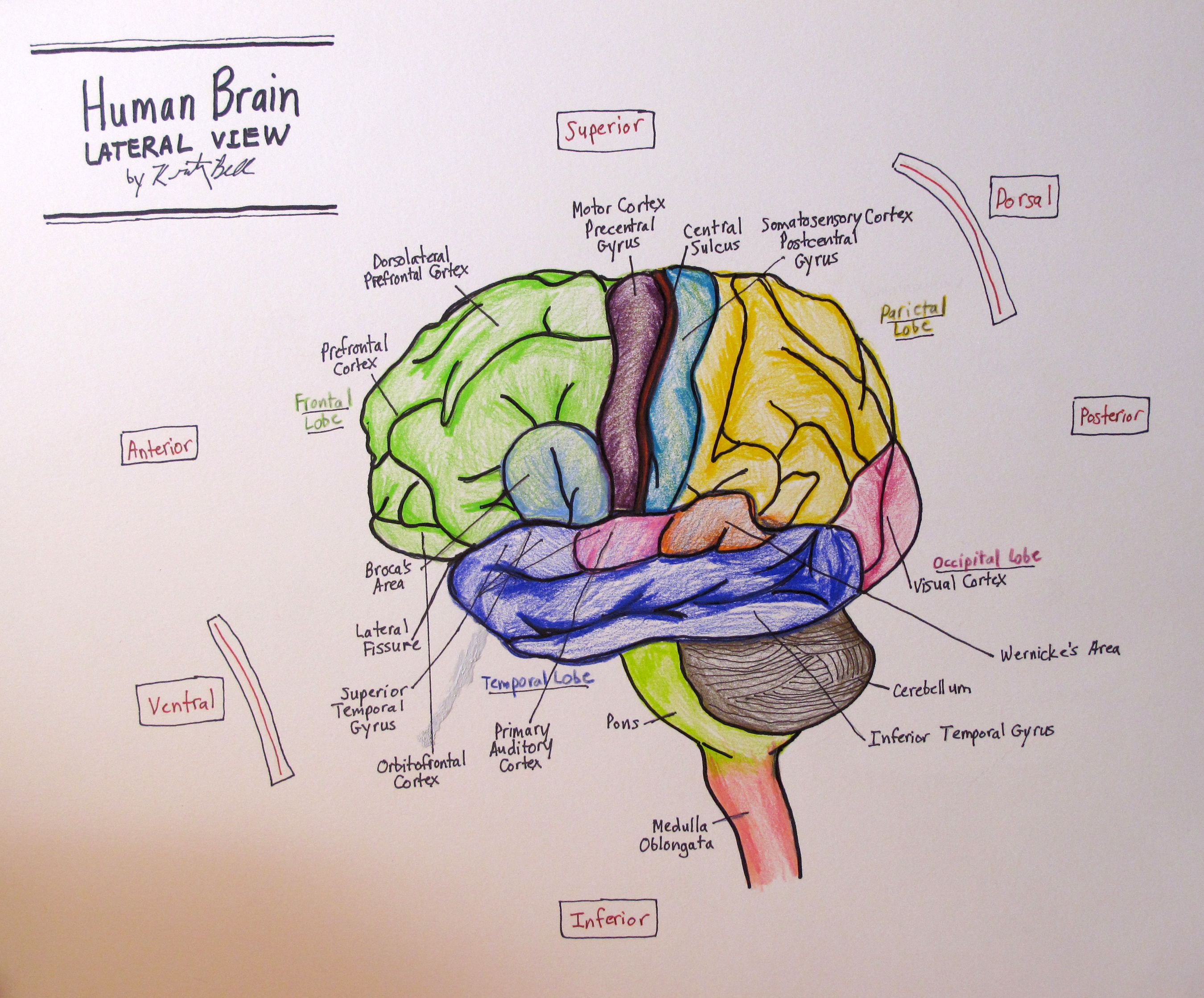 Brain drawing images at getdrawings free for personal use 2700x2237 lateral human brain 4th neuro drawing ccuart Choice Image