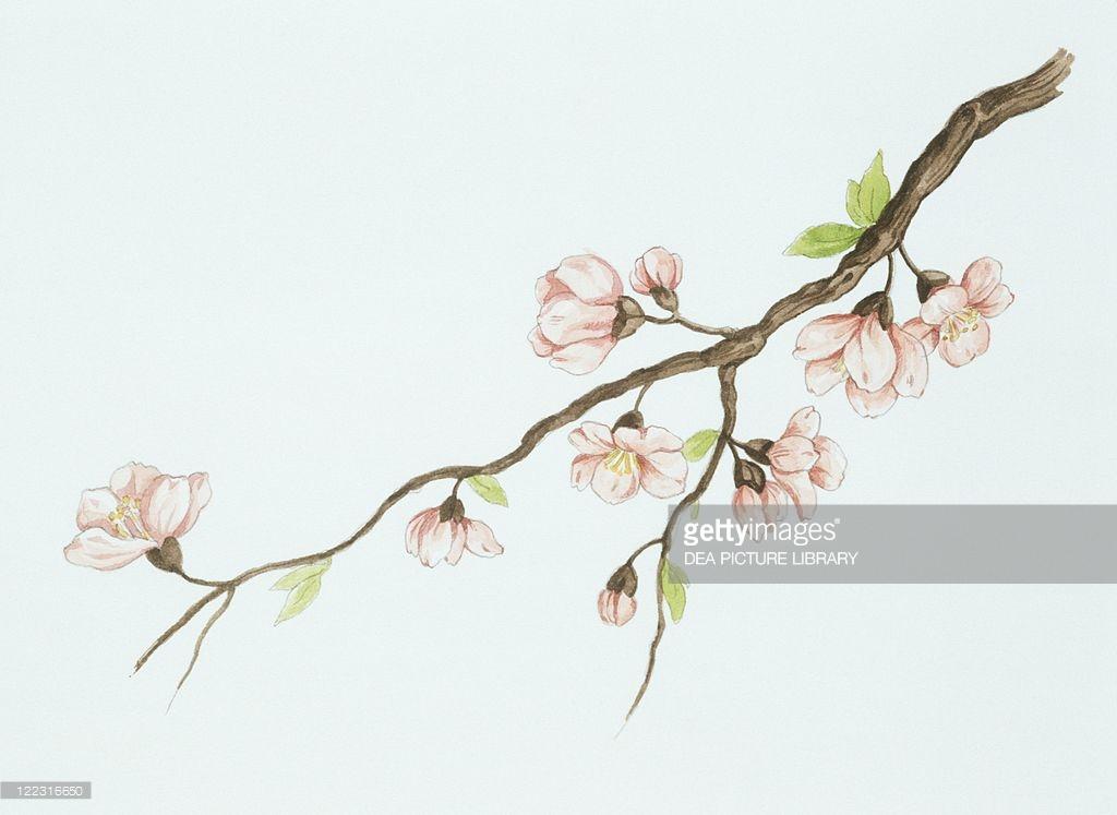 1024x747 Almond (Prunus Dulcis) Branch With Flowers, Drawing Botany